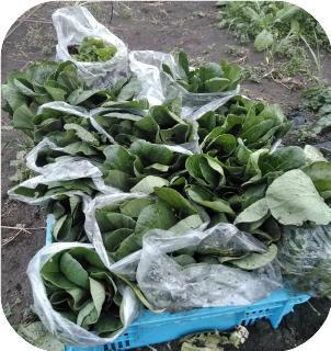 瀰瓊際菜園クラブのコマツナ収穫20180417