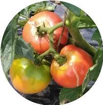 トマト実る20180708