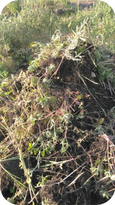 20190505見沼菜園クラブの辺縁部の雑草を積み上げたところ