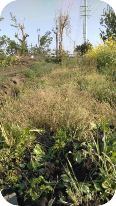 20190505見沼菜園クラブの辺縁部の雑草