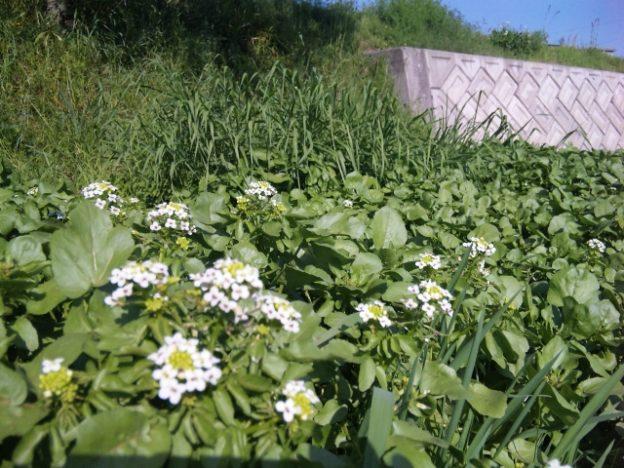 クレソンの花がある風景