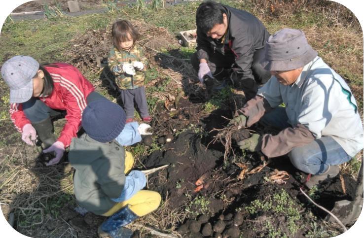 サトイモの根っこ切20191214