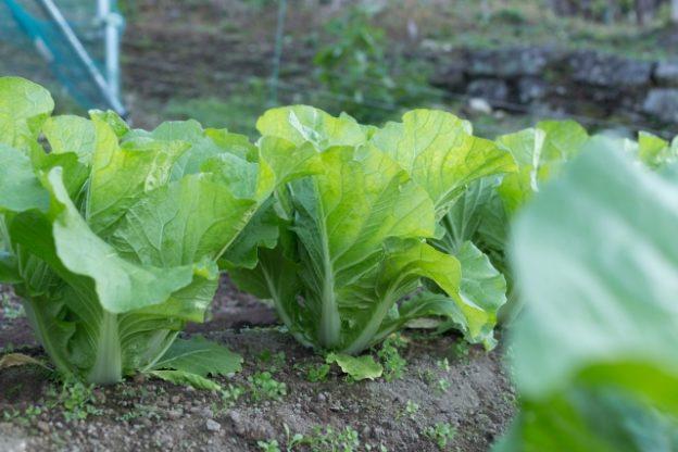 1月の畑・白菜イメージ写真
