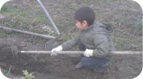 野良生えサニーレタス畑づくり20200215